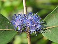 Memecylon umbellatum flowers at Peravoor (25).jpg