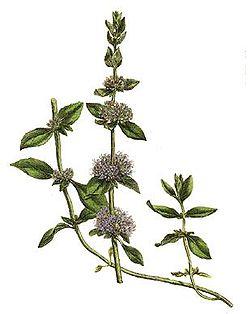 mięta polej - źródło Wikipedia