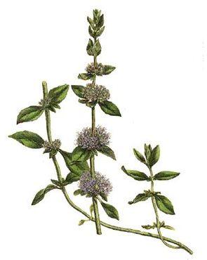 Polei-Minze (Mentha pulegium)