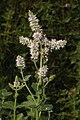 Mentha rotundifolia.jpg