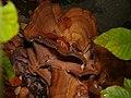 Meripilus giganteus 55894564.jpg