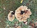 Meripilus giganteus 65032043.jpg