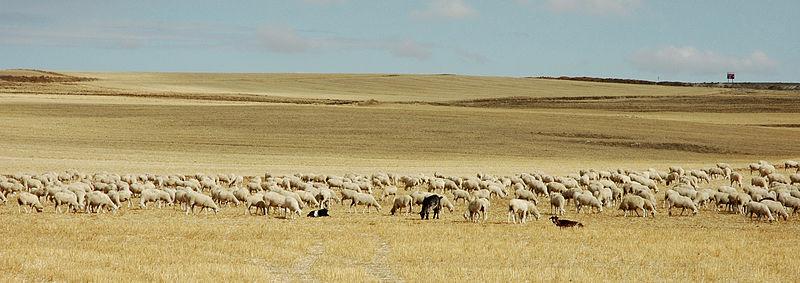 File:Meseta herd.jpg