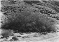 Mesquite Bush near abandoned town of Duncan. - NARA - 520483.tif