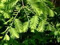 Metasequoia glyptostroboides (2943602269).jpg
