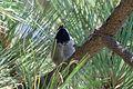 Mexican Chickadee - Rustler Park - Cave Creek - AZ - 2015-08-16at12-06-501 (21014633604).jpg