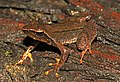 Micrixalus frigidus.jpg