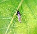 Midge. Chironomidae. - Flickr - gailhampshire.jpg