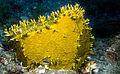 Millepora alcicornis coloniza gorgonia.jpg