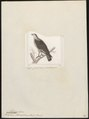 Milvago chimachima - 1700-1880 - Print - Iconographia Zoologica - Special Collections University of Amsterdam - UBA01 IZ18200013.tif