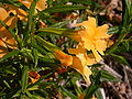 Mimulus aurantiacus flowers 2003-03-11.jpg