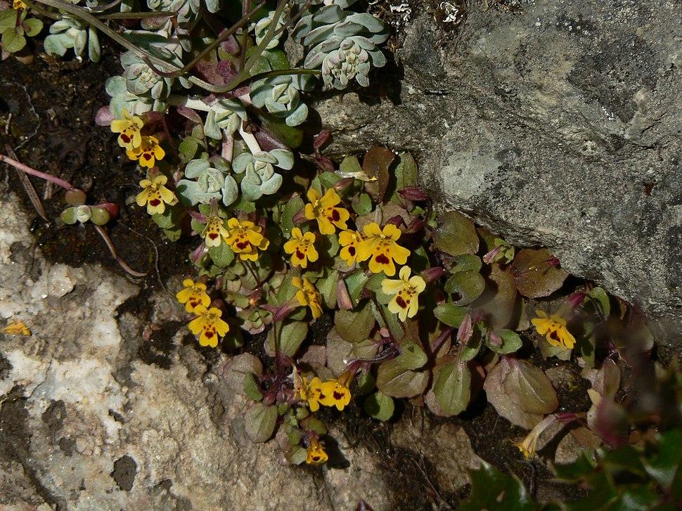 Mimulus primuloides 37892