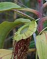 Miri roadside N. mirabilis var. echinostoma 3 new.jpg