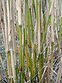 Miscanthus x giganteus stems in close up - geograph.org.uk - 1118411.jpg