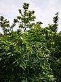 Mispelbusch im Schulgarten -1.jpg