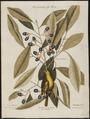 Mniotilta pinus - - Print - Iconographia Zoologica - Special Collections University of Amsterdam - UBA01 IZ16300017.tif