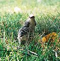Mockingbird Feeding Chick032.jpg