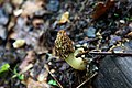 Molly-mucher-mushroom - West Virginia - ForestWander.jpg