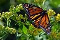 Monarch Butterfly (20119227603).jpg
