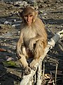 Monkey Strikes a Pose - Sundarbans Tiger Reserve - South of Kolkata - India (12356112474).jpg