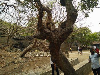 Monkey enjoying lemon soda 01.jpg