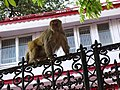 Monkey on Railings - Shimla - Himachal Pradesh - India (25923755393).jpg