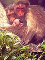 Monkey with her Kids.jpg