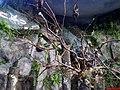 Morcegos Gigantes ou Raposas Voadoras(Pteropus vampyrus) - São encontrados em florestas tropicais do Sudeste da Ásia (Malásia, Tailândia, Sumatra, Filipinas, Ilha de Java, Borneo, etc). Costumam vi - panoramio.jpg