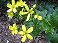 Morgallana (Ranunculus cortusifolius).JPG