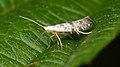 Moth (Lepidoptera) - Guelph, Ontario 03.jpg