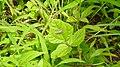 Moth Hawaiian Beet Webworm (Spoladea recurvalis) from Madayipara DSCN2228.jpg