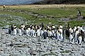Moulting King Penguins (5849158720).jpg