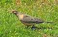 Mourning Dove in DeBary - Flickr - Andrea Westmoreland.jpg