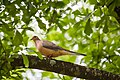 Mourning dove (34228457245).jpg