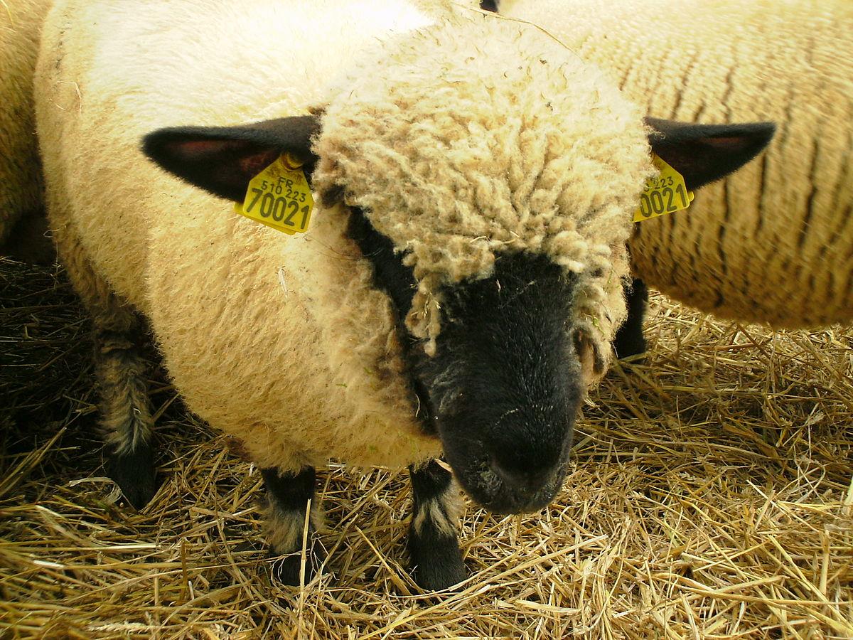 Hampshire (oveja) - Wikipedia, la enciclopedia libre