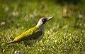 Mrs Woodpecker (26533461867).jpg