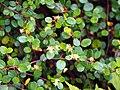 Muehlenbeckia axillaris Muhlenbekia niska 2017-10-15 03.jpg