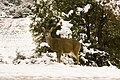 Mule Deer (3770381056).jpg