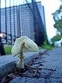 Mushroom on the street - Flickr - Daiju Azuma.jpg