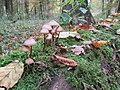 Mushrooms at Hambach Forest.jpg