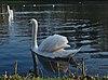 Mute swan on étang Tenreuken (DSCF2637 cropped).jpg