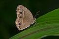 Mycalesis mineus-Kadavoor-2016-06-18-001.jpg