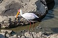 Mycteria ibis (31035751187).jpg