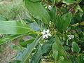 Myoporum laetum 1.JPG