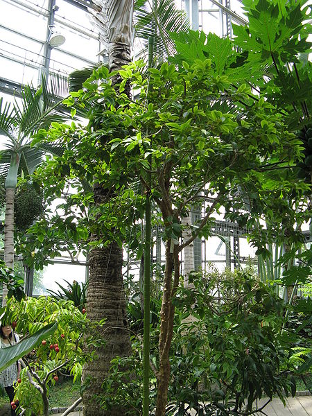 File:Myrciaria cauliflora4.jpg