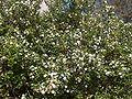 Myrtus communis11.jpg