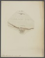 Mysis flexuosus - - Print - Iconographia Zoologica - Special Collections University of Amsterdam - UBAINV0274 097 12 0003.tif