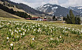 NP-By-OA-Allg.Nagelfluhkette-Balderschwang-Märzenbecherwiese 11.04.2014-NL1.jpg