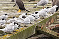NZ070315 Oamaru Terns 01.jpg