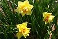 Narcissus Chanticleer 1zz.jpg